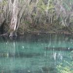 Manatees at Three Sister's Springs