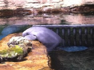 I have never seen a manatee out of the water. Was he sick or pining for the other manatee in the next enclosure?