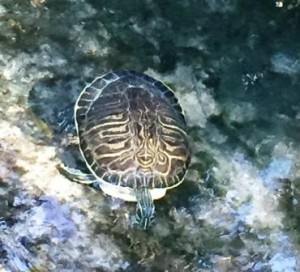 Turtle sighted! Juniper Springs.