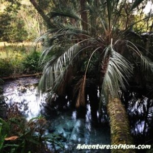 Hunting for hidden springs at Rainbow Springs State Park: This one's hidden under a palm tree!