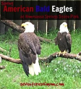 A pair of majestic American Bald Eagles in rehab at Homosassa Springs