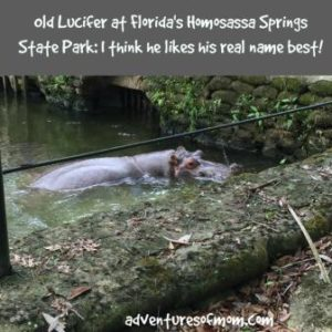 Lucifer is one of the oldest hippos in captivity