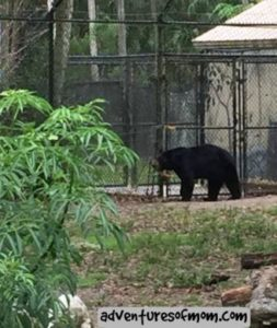 Bear at Homosassa Springs