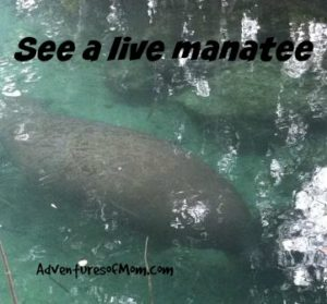 West Indian Manatee in Crystal River