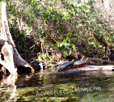 There were many turtles sunning themselves on the longs along Juniper Run